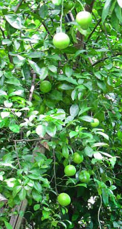 Thai Lime Tree